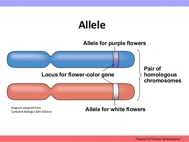 example of an allele and expample of a gene