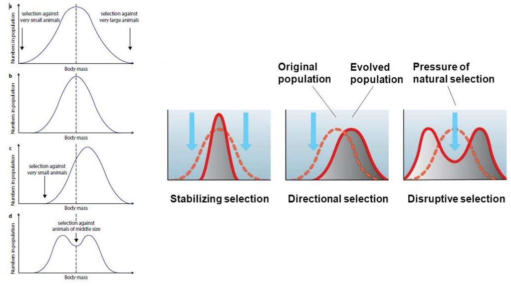 an example of stabilising selection would be